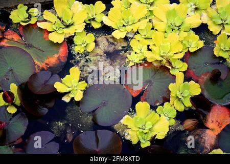 Water lilies, flowers and leaves floating in a small pond