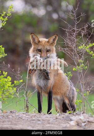 Red fox Vulpes vulpes with a rabbit and chipmunk in mouth for her kits in the forest in springtime in Canada