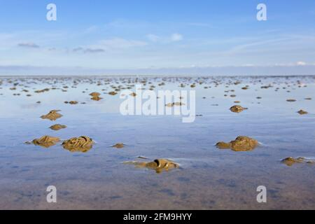 European lugworm / sandworm (Arenicola marina) casts of defaecated sediments on the beach at low tide - Stock Photo