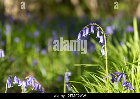 English bluebells (Hyacinthoides non-scripta) in woodland in Hampshire, UK, during spring