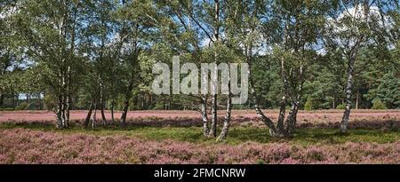 Beautiful birch trees on purple heath in bloom at Lueneburger Heide