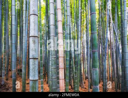 Low section of Bamboo plants in natural bamboo forest - Arashiyama grove of Kyoto city, Japan.