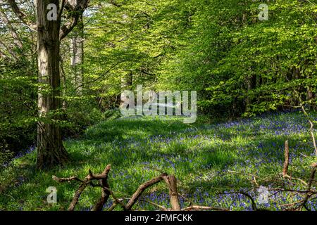 A carpet of bluebells in Sussex woodland