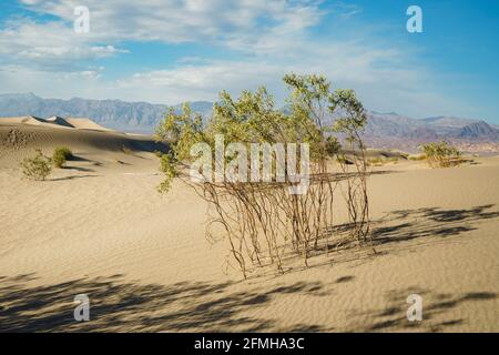 Sand dunes in desert and native plants, mountains and cloudy sky background. Mesquite Sand Dunes in Death Valley, beautiful sunset