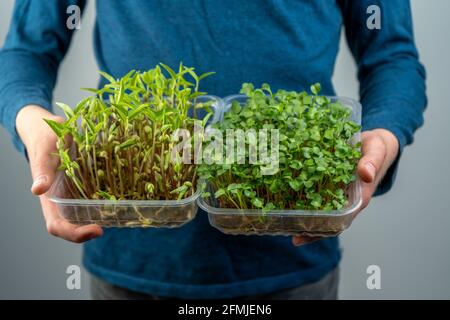 Hold the microgreen in hands. Cabbage, daikon and radish seedlings. Sprouted sprouts. Urban gardening. Organic vegan food. Useful vitamins. Growing at Stock Photo