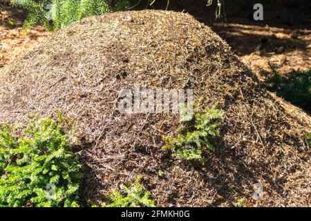 Wood ant hill in edge of forest on sun Formica rufa nest, ants colony