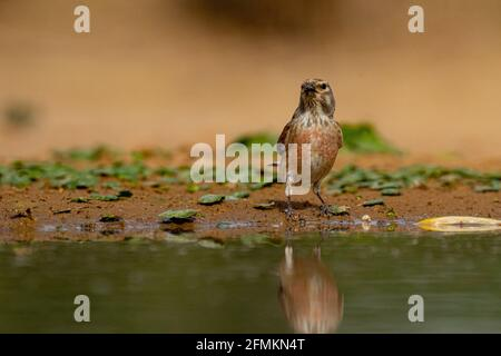 Male Common linnet (Linaria cannabina)