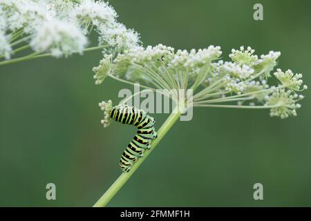 Old world swallowtail, Papilio machanon larva feeding on cow parsley