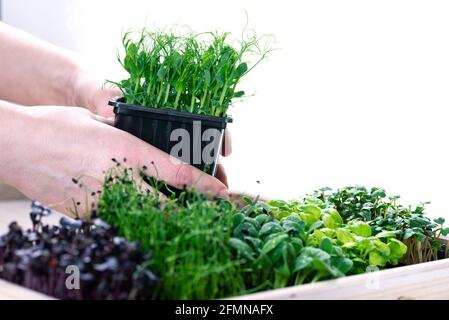 Mixed herbs in grow trays in a white wooden box. Microgreens from onions, basil and radishes, female hands hold a plastic tray with microgreens.