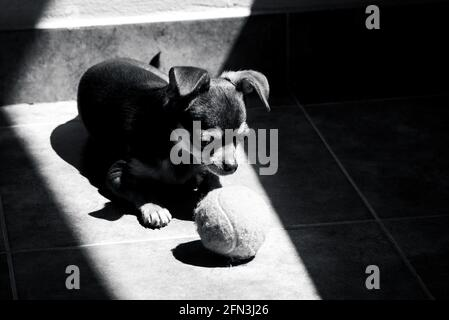 Cute little brown chihuahua dog looking sadly at his tennis ball toy while resting at sunlight in black and white