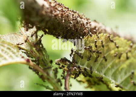 Invasion of black ants crawling on green leaf and branch of a tree in springtime.