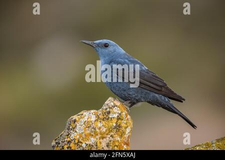 Blue rock thrush (Monticola solitarius) with an intense blue plumage in the mating season, photographed from a hide in Batea (Tarragona, Spain)
