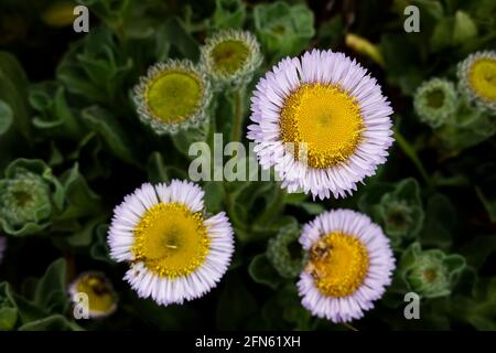 Seaside daisy also known as seaside fleabane, beach aster and Erigeron glaucus growing on the Central California Coast. USA.