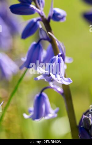 A portrait of a wild hyacinth, also known as a common bluebell flower. The latin name of the plant is hyacinthoides non-scripta and is a bulbous peren