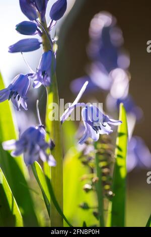 A portrait of a wild hyacinth in a garden, also known as a common bluebell flower. The latin name of the plant is hyacinthoides non-scripta and is a b