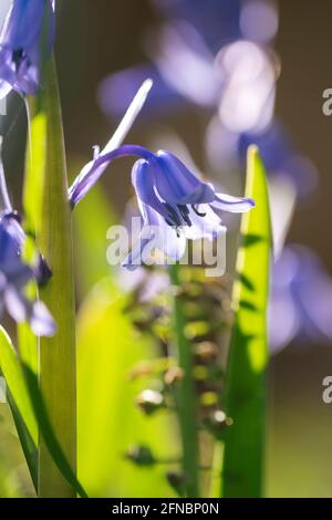 A close up portrait of a wild hyacinth in a garden, also known as a common bluebell flower. The latin name of the plant is hyacinthoides non-scripta a