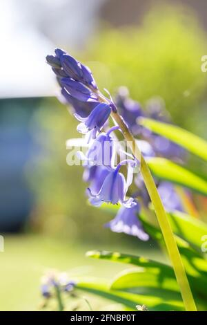 A sunny portrait of a wild hyacinth, also known as a common bluebell flower. The latin name of the plant is hyacinthoides non-scripta and is a bulbous