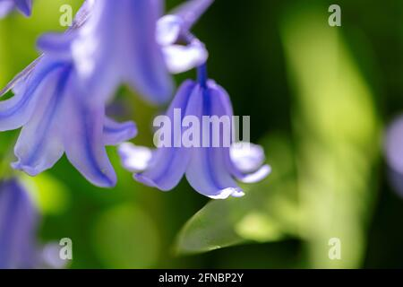 A portrait of a wild hyacinth, also known as a common bluebell flower, in a garden. The latin name of the plant is hyacinthoides non-scripta and is a