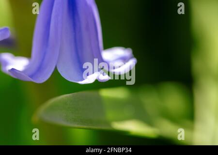 A portrait of a petal of a wild hyacinth, also known as a common bluebell flower, in a garden. The latin name of the plant is hyacinthoides non-script