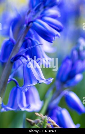 A portrait of a wild hyacinth, also known as a common bluebell flower, in a garden on a moody day. The latin name of the plant is hyacinthoides non-sc
