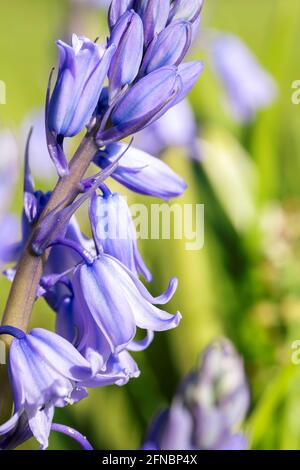 A close up portrait of a wild hyacinth, also known as a common bluebell flower, in a garden. The latin name of the plant is hyacinthoides non-scripta