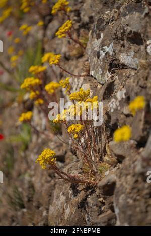 Flora of Gran Canaria - flowering Aeonium simsii, tree houseleek endemic to the island natural macro floral background