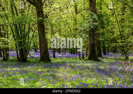 Morning light in a bluebell wood in Sussex