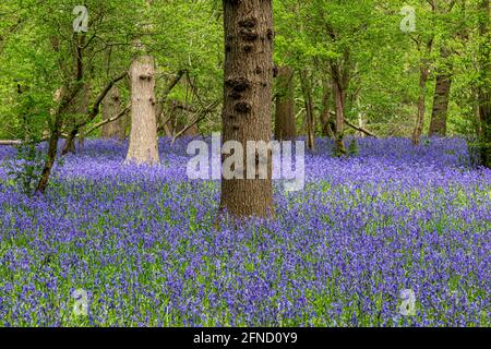 An Abundance of Bluebells in Sussex Woodland in Springtime