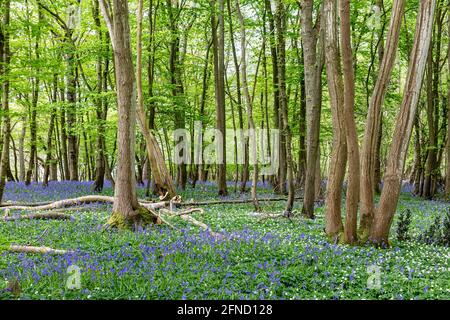 Wood Anemones and Bluebells in Sussex Woodland on a Spring Day