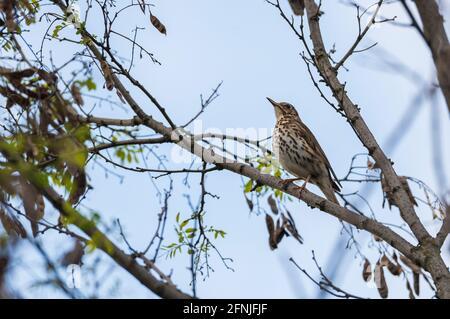 A juniper thrush on a branch