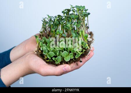 Hold the microgreen in hands. Milk thistle and radish. Sprouted sprouts. Urban gardening. Organic vegan food. Useful vitamins. Growing at home. Leaves