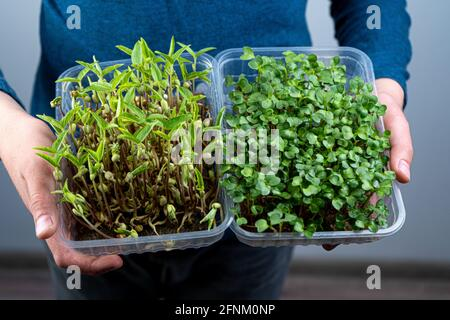 Hold the microgreen in hands. Mash and arugula sprouts in a plastic tray. Sprouted sprouts. Urban gardening. Organic vegan food. Useful vitamins