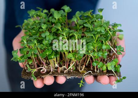 Hold the microgreen in hands. Radish, arugula, cabbage and lettuce.Sprouted sprouts. Urban gardening. Organic vegan food. Useful vitamins. Growing at