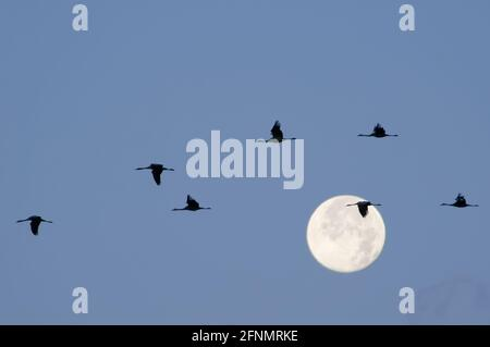 Silhouetted Common / Eurasian cranes (Grus grus) flying past a full moon, during autumn migration period, Mecklenburg-Vorpommern, Germany.