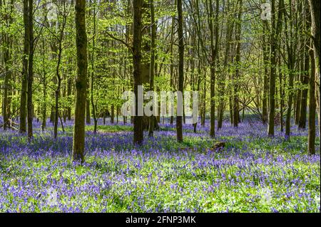 Morning light streaming in woodland with young trees and ground covered in bluebells. Walstead, West Sussex, England.