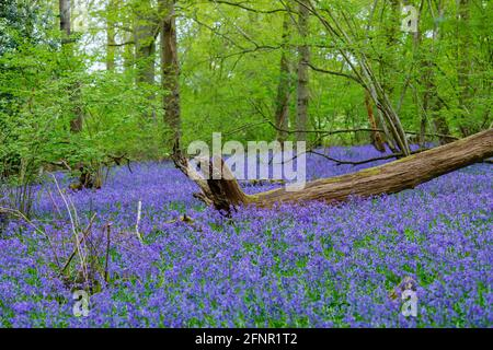 Fallen tree stump in blue English bluebells (Hyacinthoides non-scripta) flowering in woodland in spring in Surrey, south-east England