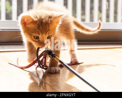 An orange and white ginger short-haired kitten plays with a toy in the bright sunlight from a window