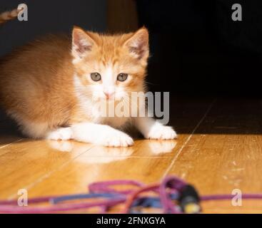 An orange and white ginger kitten stalks a toy on a hardwood floor