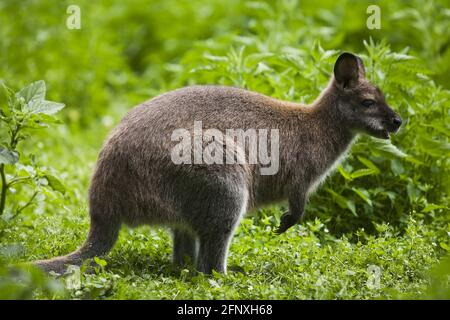 Red-necked wallaby, Bennett´s Wallaby (Macropus rufogriseus, Wallabia rufogrisea), in free range enclosure