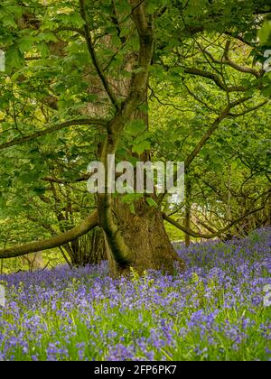Bluebells flowering underneath sycamore trees in a UK woodland, in spring.