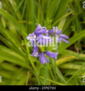 Bluebell flower growing in a UK woodland, shot from above.