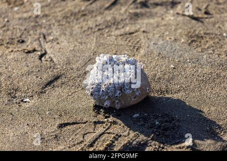 single rock covered in groups of barnacles on sand