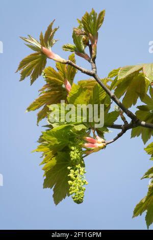 Sycamore tree Acer pseudoplatanus Flower Maple Leaves