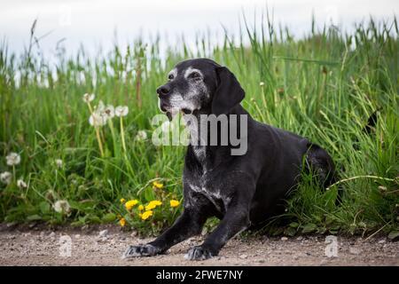Old black mixed-breed dog