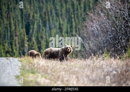 Mother and cub grizzly bear seen in the wild during spring time with boreal forest background, eating with blonde colored coat, fur.