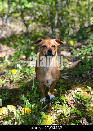 Chiweenie, a chihuahua and dachshund mix  dog outdoors amongst the grass and dandelions during spring