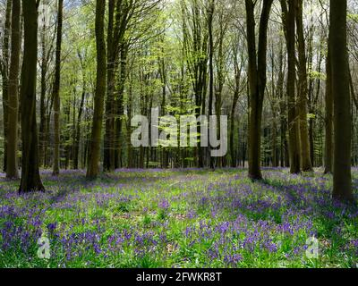 A carpet of Bluebells (Hyacinthoides non-scripta) covering a woodland floor surrounded by slim trees and a lone fern in the background, England, UK