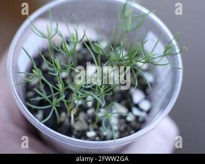 pine seedlings in a pot grown from seeds stretching towards the light