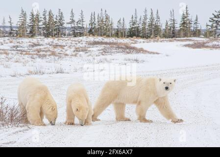 Three polar bears family mom and cubs with female walking across tundra landscape. Taken in Churchill, Manitoba, northern Canada during their migrate