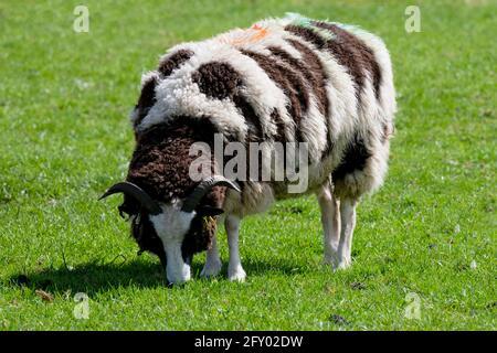 An independent Jacob sheep nibbling Springtime grass, Home Farm, Beningbrough, North Yorkshire, UK